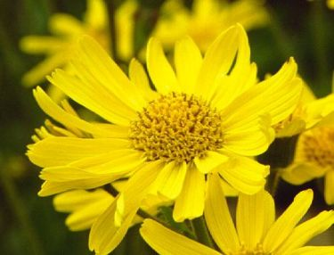 Dried Arnica Flowers http://www.herbal-remedies-information.com/arnica.html