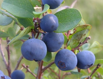 bilberry, high blood pressure herbs