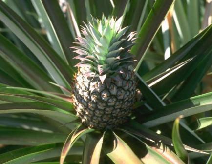 bromelain, pineapple