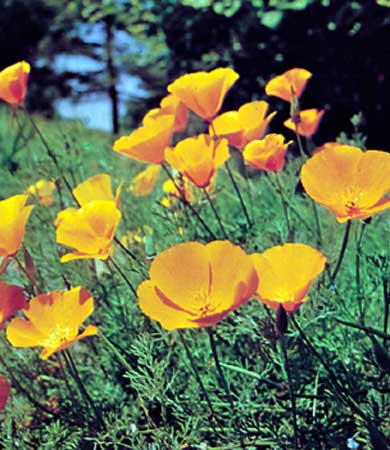 california poppy, state flower california