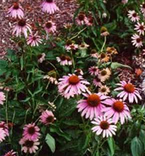 echinacea, herbs for ear infections