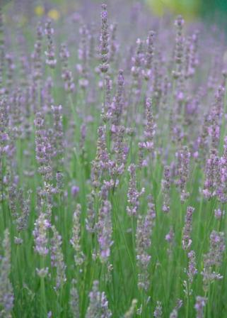 lavender, acne herbal remedy