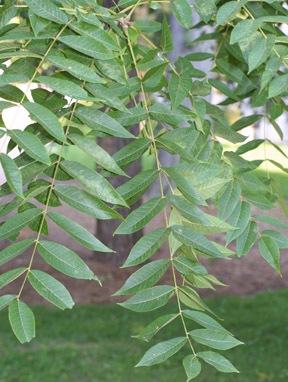 walnut, acne herbal remedy