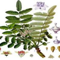 boswellia, herbal arthritis remedy