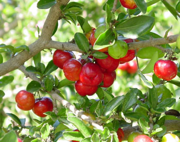Acerola, Barbados cherry